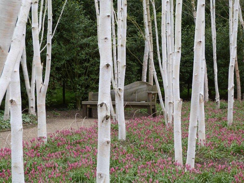 bouleaux blacs de l'Himalaya
