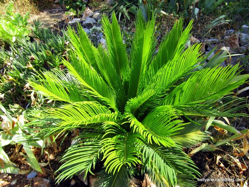 palmier cycas - hellyane passion