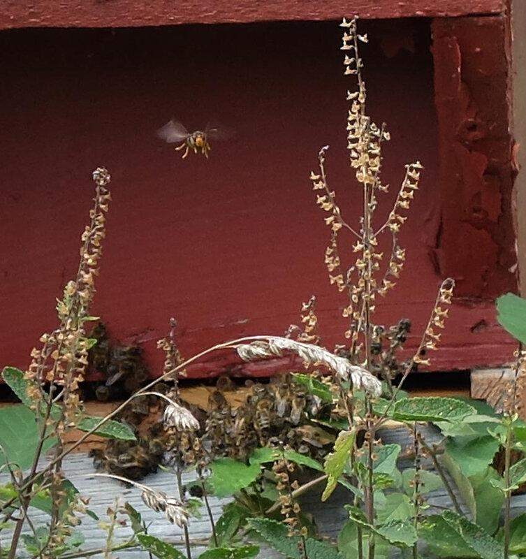 lutte des abeille contre le frelon asiatique