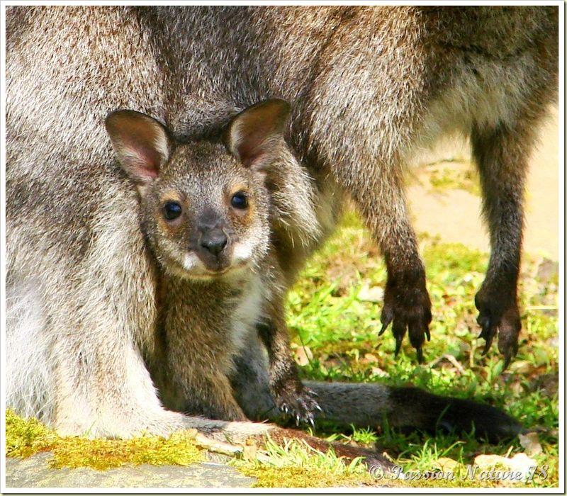 wallabies de la forêt de Rambouillet (26)