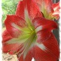 Un petit bonheur : l'Amaryllis