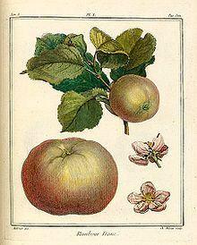 Pomme wikipédia