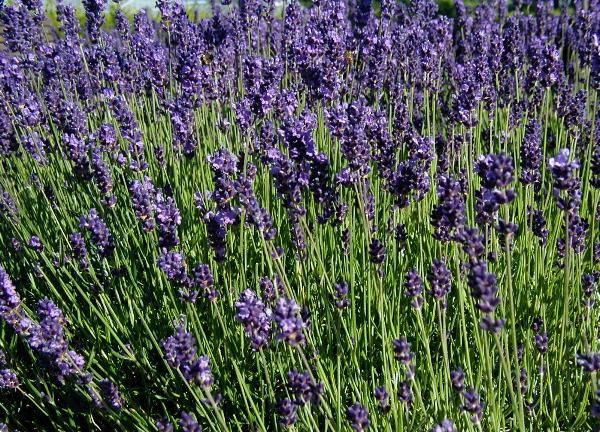 Lavandula_angustifolia_flowering