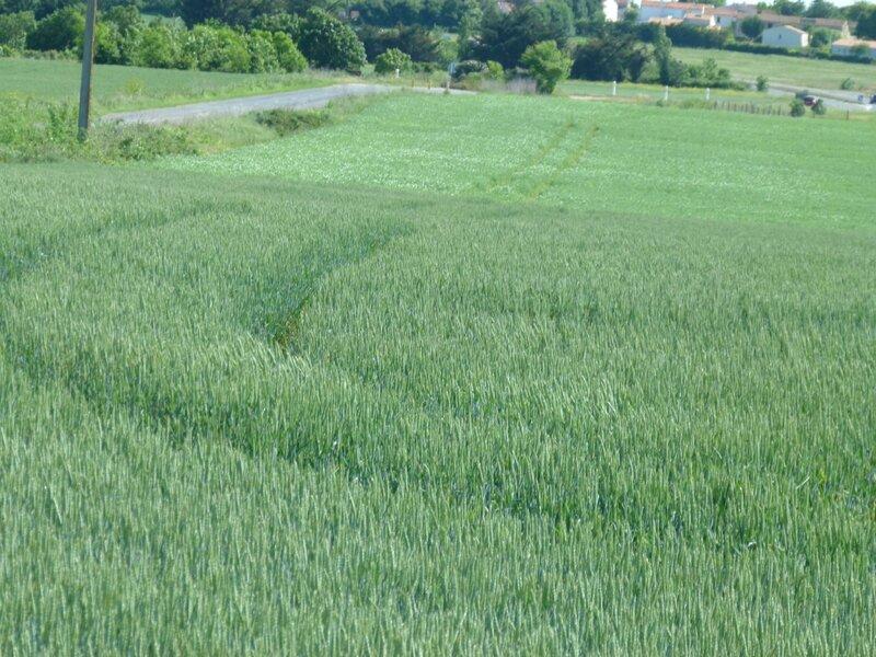 blé_en_herbe