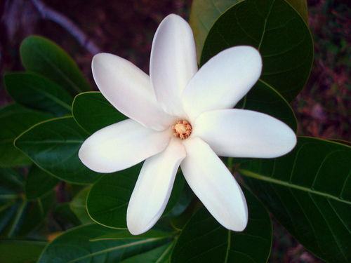 la-fleur-de-tiare