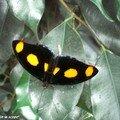Catonephele numilia mâle (♂)• Nymphalidae • Costa Rica