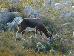 Cape_point_Bontebok_1