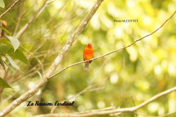 DSC04226_Cardinal_MOD