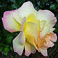 Rose 2205168
