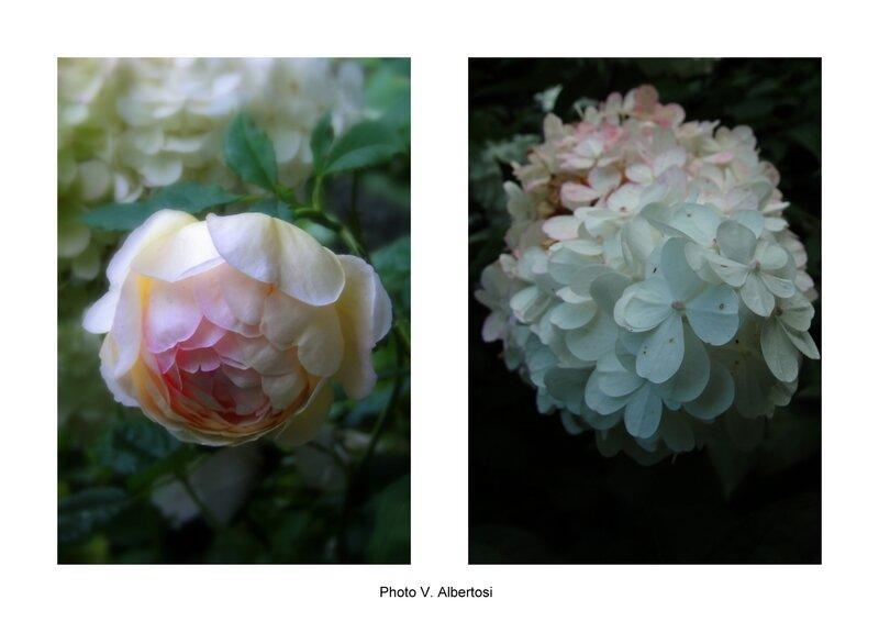 Boisemont cour fleurie rosier anglais golden celebration hydrangea paniculata vanille fraise