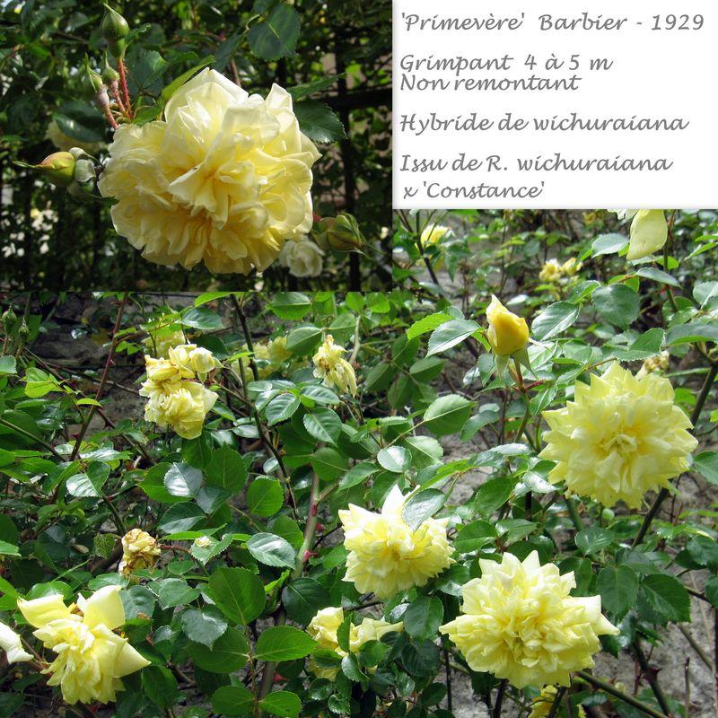 Les roses de Barbier 'Primevère'