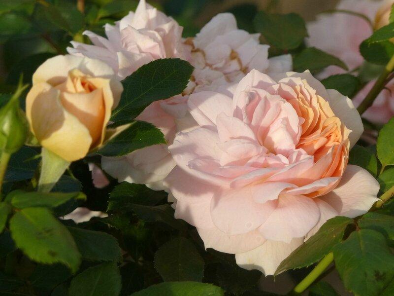 garden of roses (2)