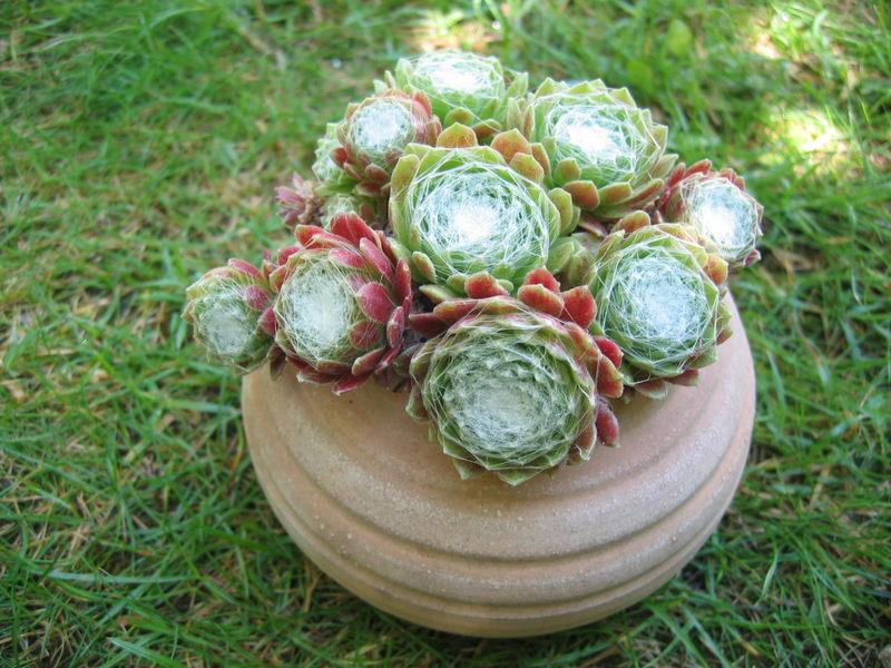 Succulente_Crassulac_e__Sempervivum_ou_Joubarbe_arachnoideum