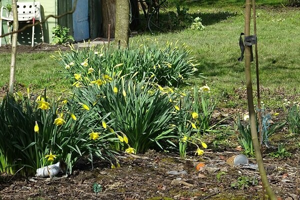 jonquilles troyennes