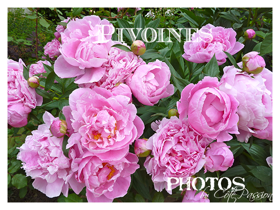 Pivoines by Côté Passion B