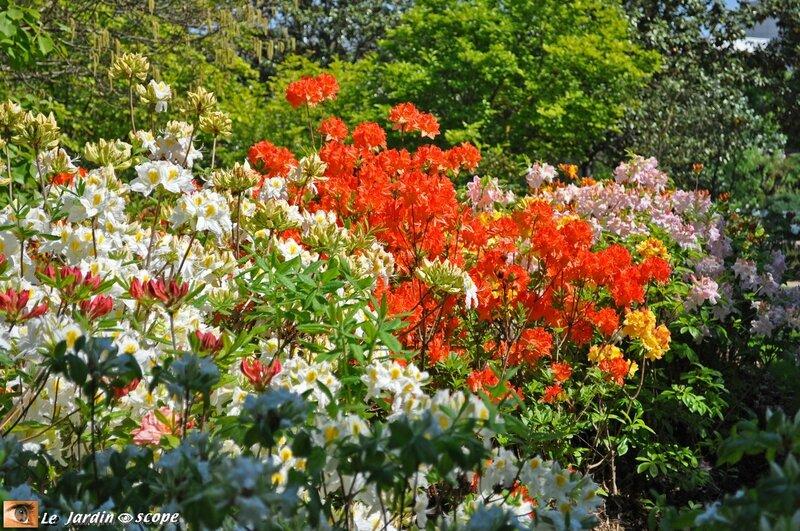 Haie de rhododendrons rouges et blancs