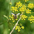 Le Syrphe du poirier (Scaeva pyrastri)