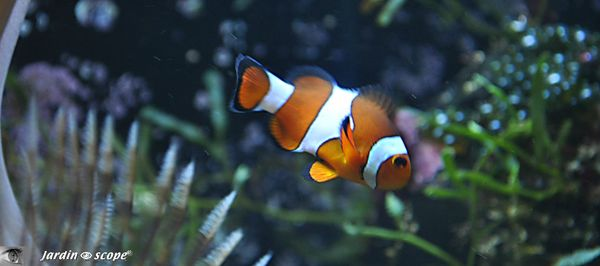 Amphiprion ocellaris alias Némo