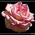 Fleurs (sur fond noir) (5)