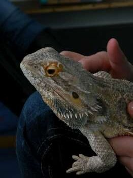 dragon des sables 3-350