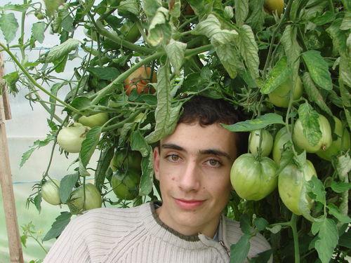 2008 08 19 Cyril la tête sous ses tomates coeurs de boeufs