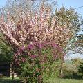 Lilas et cerisier