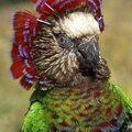Red-fan parrot (deroptyus accipitrinus)