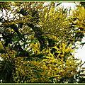 Mimosa 1702152