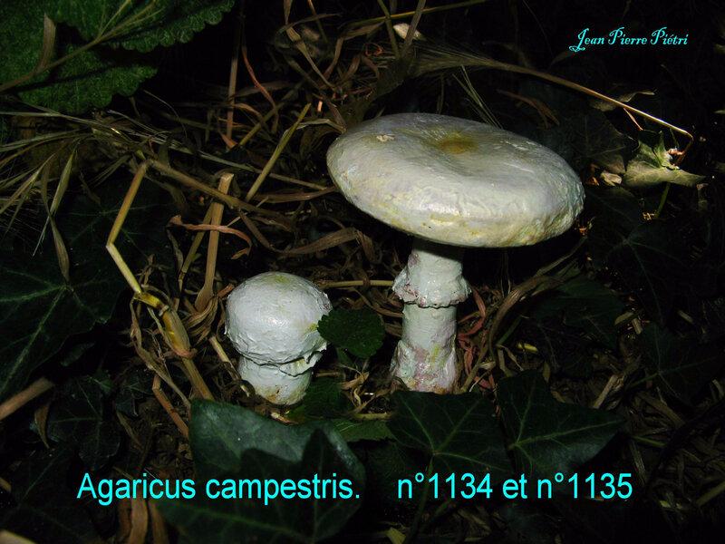 Agaricus campestris n°1134 n°1135
