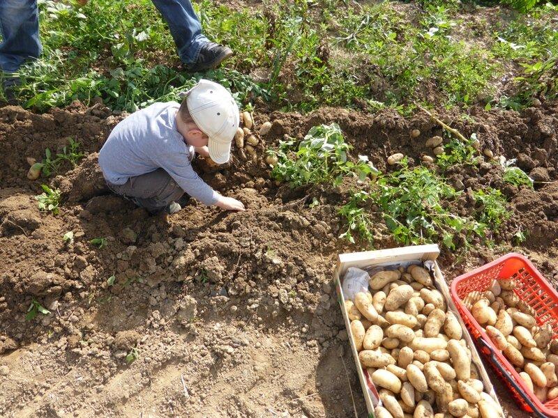 5-arrachage pommes de terre (20)