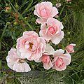 fleurs-roses-2 (19)