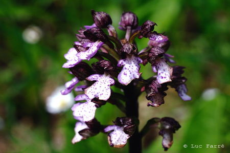 Orchis_pourpre_02