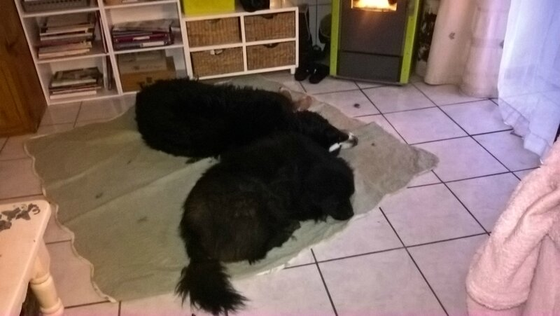 les chiens 11 janvier 2017 (6)