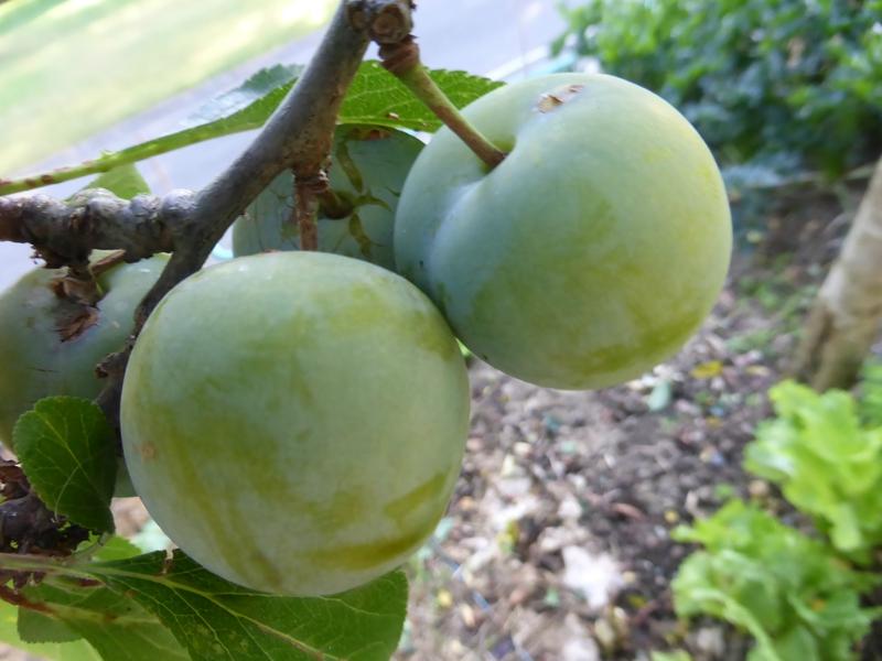 21-prunes (4)