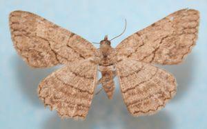 Ectropis herbuloti 04 (2)