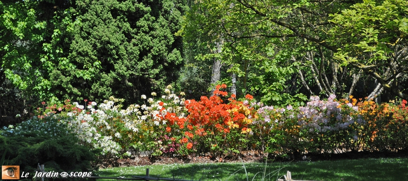 Haie de rhododendrons - jardin botanique de Tours