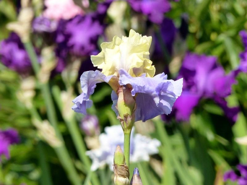 iris haut les voiles (3)