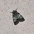 Polyphaenis sericata, la noctuelle du camérisier