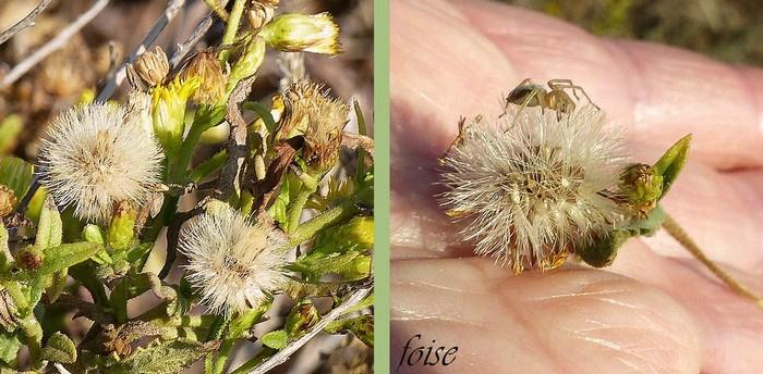 akènes munis d'un pappus à poils soudés à la base