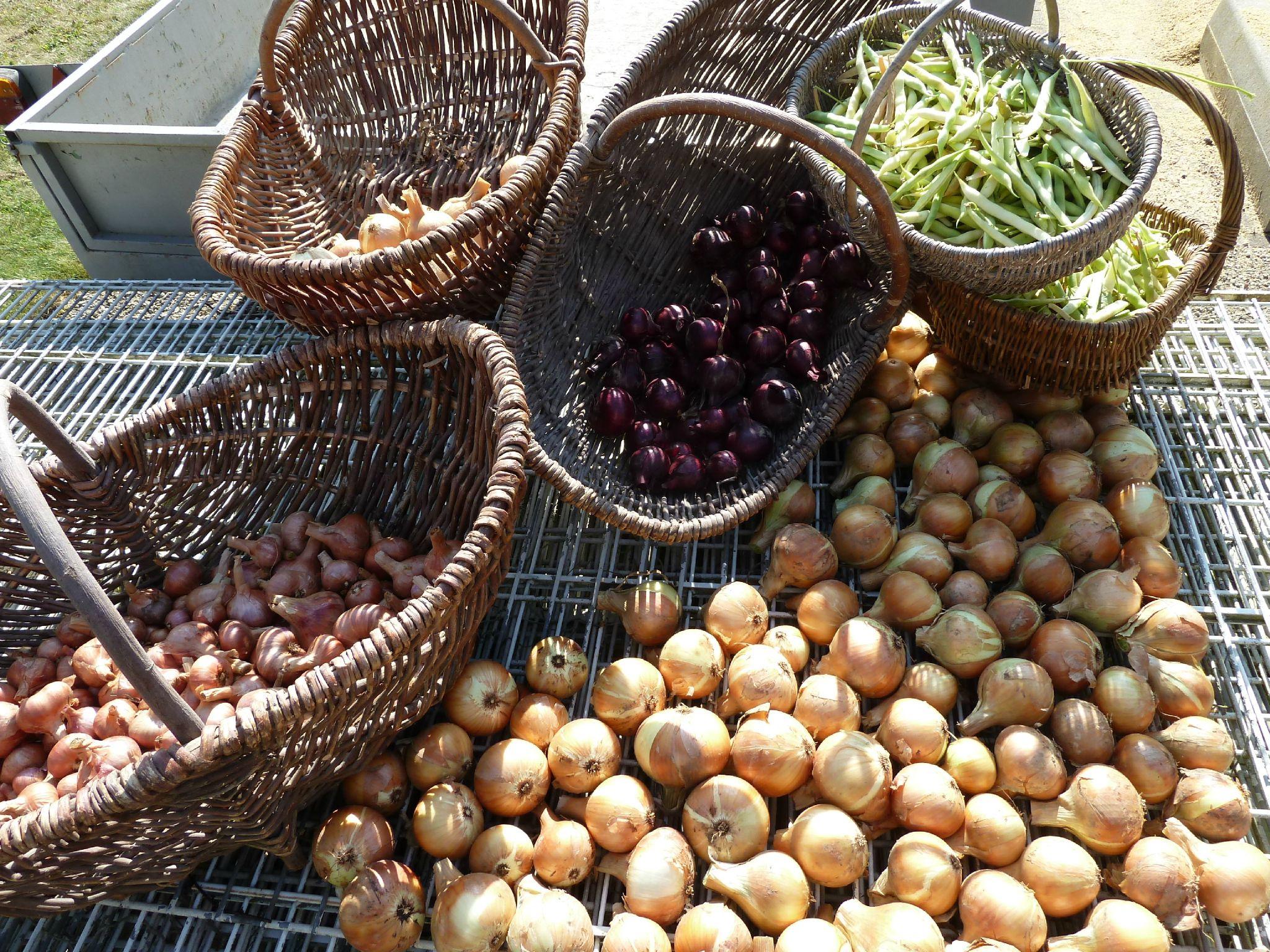 oignons, échalottes, haricots secs www.passionpotager.canalblog.com
