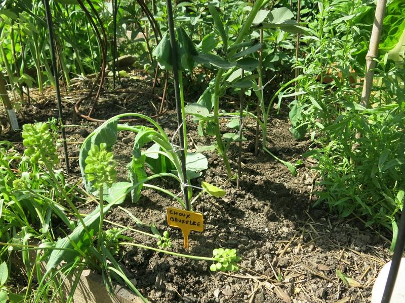 Mon petit carr le concombre masqu jardinier - Planter des choux de bruxelles ...