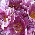 tulipes mars 2012 (2)