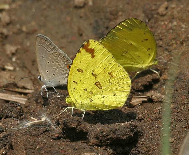 Common_Grass_Yellow_(Eurema_hecabe)_in_Kawal_WS,_AP_W_IMG_1779