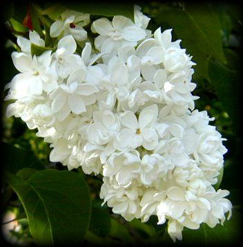 lilas blanc