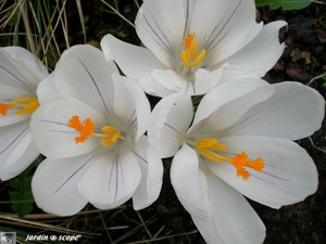 Crocus_blanc_stries_mauve