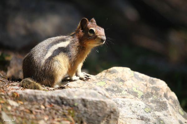 ecureuil lake louise
