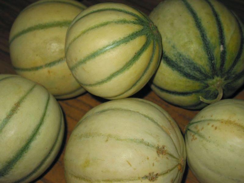 Melon qui es tu le jardin des petits lutins - Quand recolter les melons ...