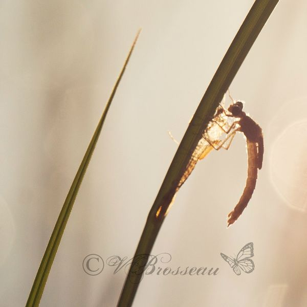 agrion-naissance-13-02
