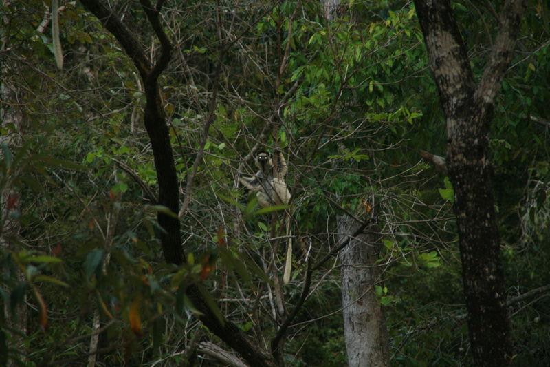 Lémuriens (descente de la Tsiribinha) 8