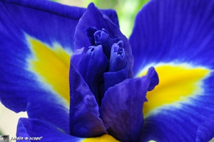 Iris-hollandica-Blue-Magic-2